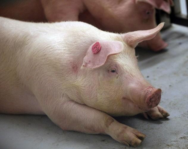 Piggy-Piggy-Piggy-e1374522063822