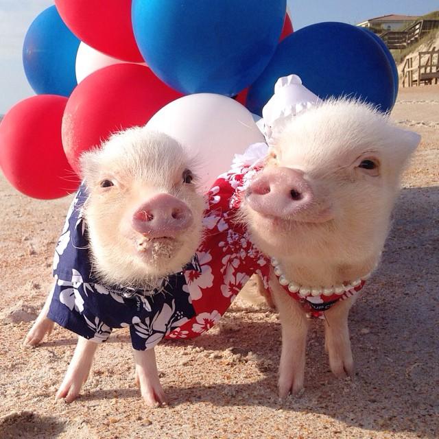 幸褔就是两头温暖的小猪