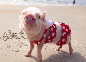 熱爆網上,最可愛的小豬Priscilla!
