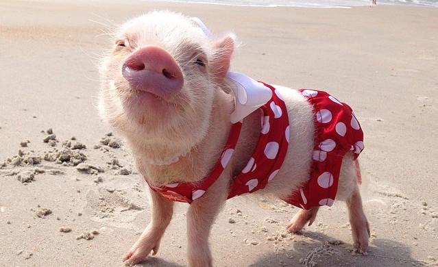 热爆网上,最可爱的小猪priscilla!