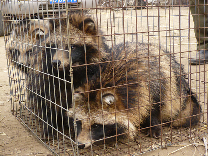 Caged raccoon dogs (2)