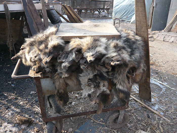 Raccoon dogs' pelts on trolley