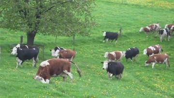 被拯救的牛奔向生命,喜悅跳躍(短片)