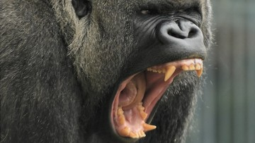 我們有犬齒就天生吃肉?九個原因破解迷思