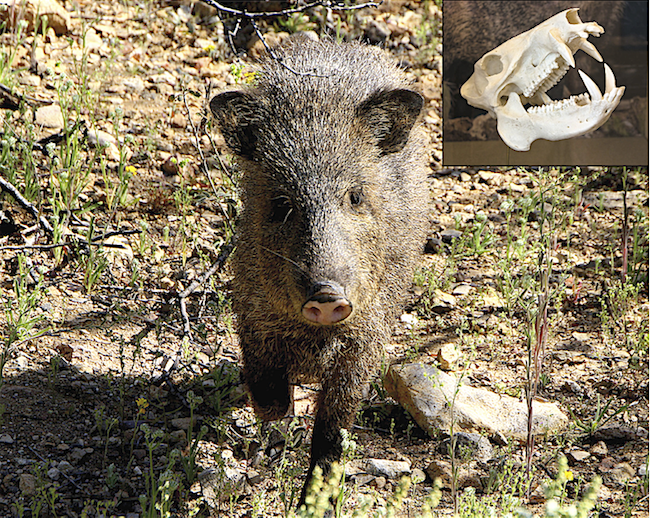 photo of javelina by creative commons flickr user bill85704; skull, wikimedia commons