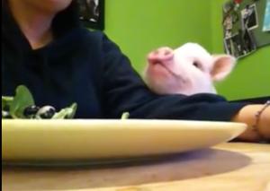 為何這個豬吃沙拉的影片竟有50萬點擊?
