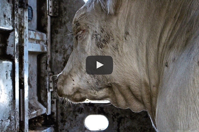 featured-image-for-why-vegan-slaughterhouse-video
