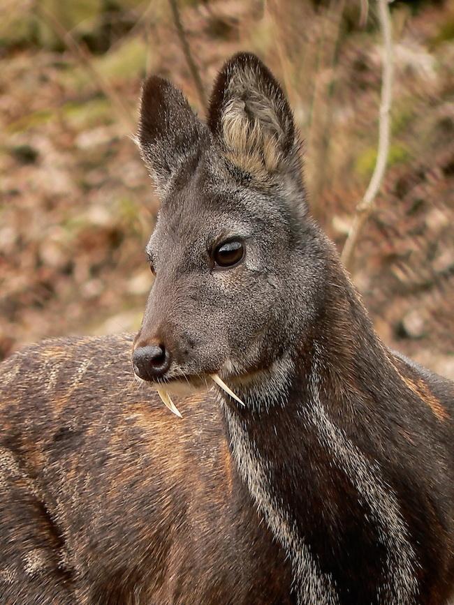 siberian-musk-deer-herbivore-canines