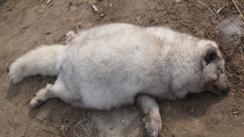 A-dead-white-fox-1-1024x768