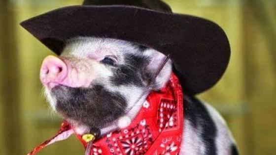 豬狗相同的七個原因