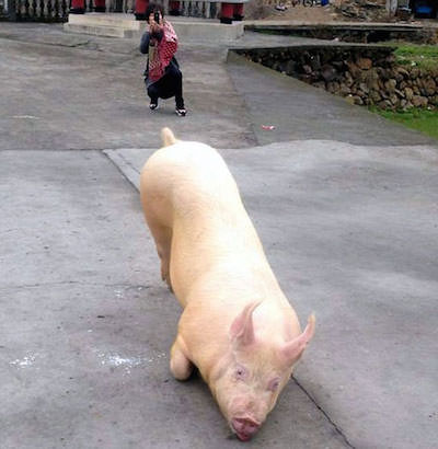 Pig-escapes-farm-goes-to-Buddhist-temple-appears-to-lie-down-and-pray11