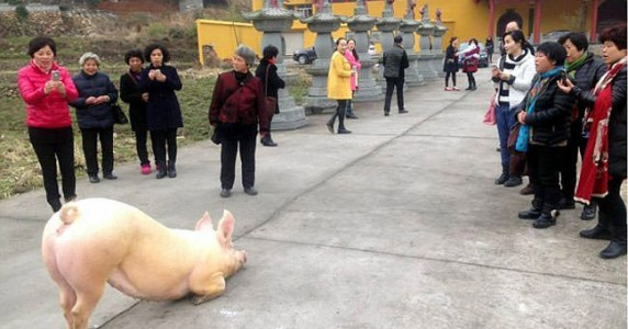 Pig-escapes-farm-goes-to-Buddhist-temple-appears-to-lie-down-and-pray2-2