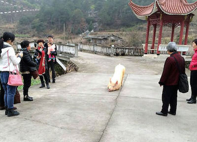 Pig-escapes-farm-goes-to-Buddhist-temple-appears-to-lie-down-and-pray3