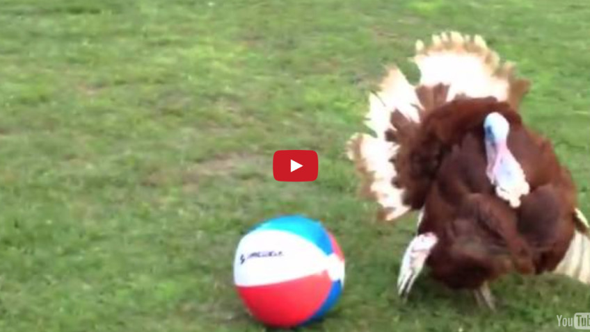 火雞闖入後院玩沙灘球