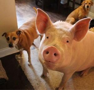 不吃狗卻吃豬牛羊雞,是偏袒嗎?