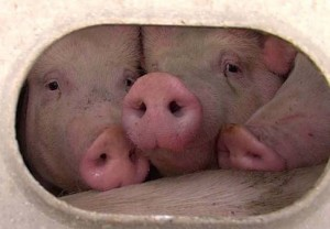 在送往屠宰場的卡車上,豬隻們的最後時光。Photo: Toronto Pig Save.