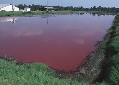 一個活豬屠宰場附近充滿廢物的潟湖。那些細菌、血液、胎盤、死產仔豬、尿液、糞便、化學物和藥物之間的化學作用,經常能將附近的潟湖轉成粉紅色。