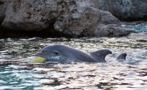 Wild-Dolphin-602x370