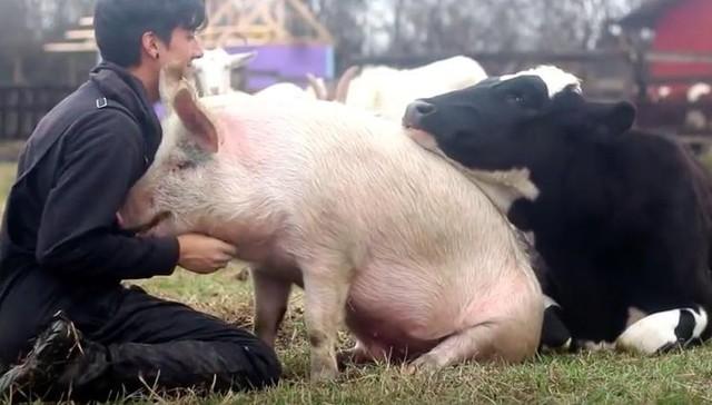 最開心的豬牛爭寵影片