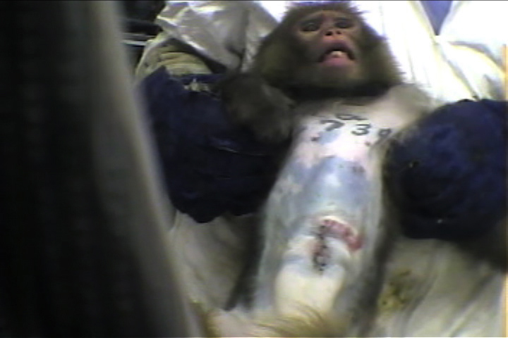 (video still) monkey with injuries being restrained by a person