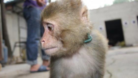 PETA最新調查揭露:中國猴子的噩夢