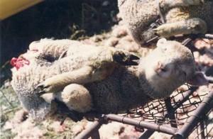 """殘酷的澳洲羊毛:""""Mulesing"""""""