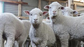 為什麼穿著羊毛也會傷害動物?