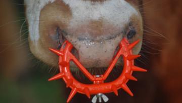 牛鼻刺:所有奶製品的殘忍象徵
