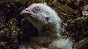 雞肉與雞蛋的來源:雞中營