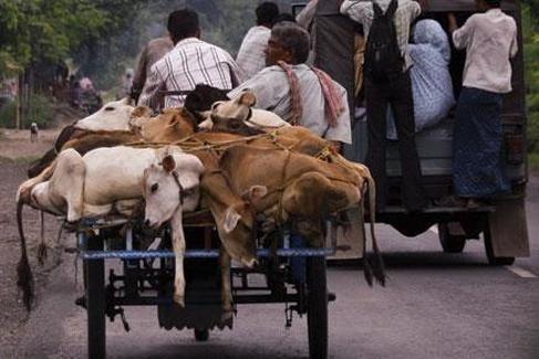 被運送的牛