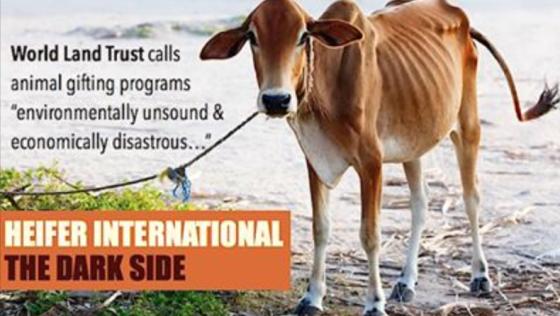 十大理由:拒絕支持「捐贈動物」的組織 以「小母牛」為例